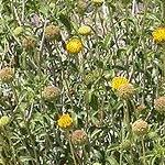 Seeds Encelia frutescens (Green brittle bush)-Encelia Frutescens, Green Brittle Bush