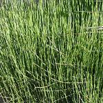 Seeds Ephedra nevadensis (Nevada ephedra)-Ephedra nevadensis (Nevada mormon tea)