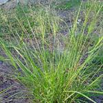 Seeds Eragrostis intermedia (Plains lovegrass)-{SEEDS Native Grasses} Eragrostis intermedia (Plains lovegrass