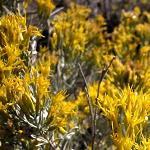 Seeds Ericameria nauseosa-Ericameria nauseosa nauseosus (Rubber Rabbitbrush), Chrysothamnus nauseosus