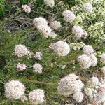 Seeds Eriogonum fasciculatum-Seeds Eriogonum fasciculatum (California buckwheat)