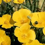 Seeds Eschscholzia californica 'Golden West'-Seeds Eschscholzia californica 'Golden West' (Gold California Poppy)