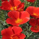 Seeds Eschscholzia californica 'Mikado'-Seeds Eschscholzia californica 'Mikado' California Poppy, Red