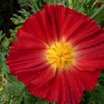 Seeds Eschscholzia californica 'Red Chief'-Seeds Eschscholzia californica 'Red Chief' (Red California Poppy)