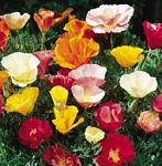 Seeds Eschscholzia californica (Poppy / Mixed colors)-Seeds Wildflowers Eschscholzia californica (California poppy / Mixed colors)