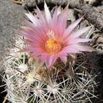 Escobaria vivipara-Seeds Cacti Escobaria vivipara