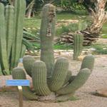 Espostoa lanata-Seeds Cacti Espostoa lanata