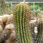 Espostoa mirabilis-Seeds Cacti Espostoa mirabilis