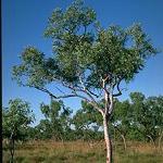 Seeds Eucalyptus brevifolia-Eucalyptus brevifolia, Snappy Gum