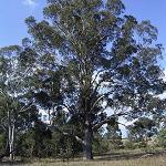 Seeds Eucalyptus baueriana-Eucalyptus baueriana (Blue Box)