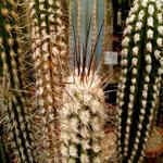 Eulychnia breviflora-Seeds Cacti Eulychina breviflora, Eulychnia breviflora