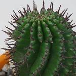 Seeds Euphorbia horrida-Euphorbia horrida
