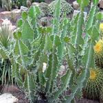 Seeds Euphorbia grandicornis-Seeds Euphorbia grandicornis