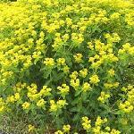 Seeds Euphorbia lathyris-Euphorbia lathyris (Gopher Plant)