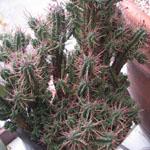 Seeds Euphorbia mammillaris-Euphorbia mammillaris