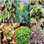 Seeds Faucaria species mix-Faucaria species mix