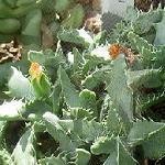 Seeds Faucaria subintegra-Seeds Faucaria subintegra