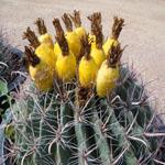 Ferocactus wislizenii-barrel cacti, Ferocactus Wislizenii, Fishhook Barrel