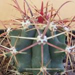 Ferocactus acanthodes-Ferocactus Acanthodes, barrel cactus