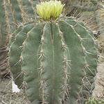 Ferocactus echidne-Seeds Cacti Ferocactus echidne