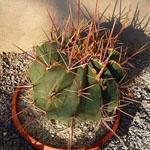 Ferocactus covillei-Ferocactus covillei