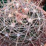 Hamatocactus hamatacanthus ssp. sinuatus-Seeds Cacti Hamatocactus hamatacanthus ssp. sinuatus