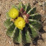 Ferocactus schwarzii-Seeds Cacti Ferocactus schwarzii
