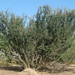 Seeds Fouquieria macdougalii-Seeds Fouquieria macdougalii, ocotillo