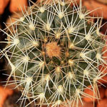 Frailea pygmaea (Frailea pulcherrima)-Seeds Cacti Frailea pygmaea
