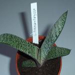 Seeds Gasteria brachyphylla-Seeds Gasteria brachyphylla