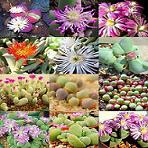 Seeds Gibbaeum species mix-Seeds Gibbaeum species mix