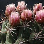 Gymnocalycium saglione-Seeds Cacti Gymnocalycium saglione