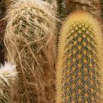 Haageocereus species mix-Seeds Cacti Haageocereus species mix
