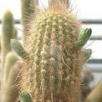 Haageocereus pacalaensis-Haageocereus pacalaensis