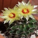 Hamatocactus setispinus-Seeds Cacti Hamatocactus setispinus 'hamatus'