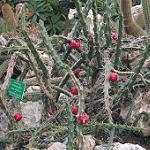 Harrisia bonplandii-Seeds Cacti Harrisia (Eriocereus) bonplandii