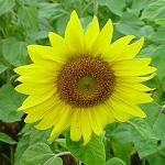 Seeds Helianthus annuus 'Wild Sunflower'-Seeds Helianthus annuus 'Wild Sunflower'
