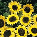 Seeds Helianthus annuus 'Lemon Queen'-Seeds Helianthus annuus 'Lemon Queen' (Annual Sunflower)