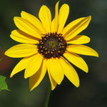 Seeds Helianthus annuus 'Dwarf Sungold'-Seeds Wildflowers Helianthus annuus (Dwarf Sungold / Yellow)