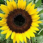 Seeds Helianthus annuus 'Giant Greystripe'-Seeds Helianthus annuus 'Giant Greystripe' Giant Sunflower