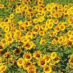 Seeds Helianthus annuus 'Autumn Beauty'-Seeds Wildflowers Helianthus annuus (Wild sunflower)