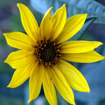 Seeds Helianthus maximiliani-Seeds Wildflowers Helianthus  maximilian's (Maximillian's sunflower