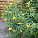 Seeds Heliopsis helianthoides-Seeds Wildflowers Heliopsis helianthoides (Ox-Eye Sunflower)