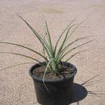 Hesperaloe parviflora (Red yucca)-Hesperaloe Parviflora (Red Yucca)