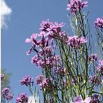 Seeds Hesperis matronalis (Dame's Rocket)-Seeds Hesperis matronalis (Dame's Rocket)