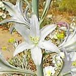 Seeds Hesperocallis undulata (Ajo Lily)-Seeds Wildflowers Hesperocallis undulata (Ajo lily)