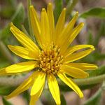 Seeds Heterotheca villosa-Seeds Wildflowers Heterotheca villosa (Golden Aster)