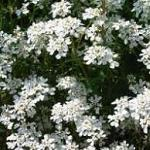 Seeds Iberis amara 'Empress' (Rocket Candytuft)-Seeds Iberis amara 'Empress' (Rocket Candytuft)