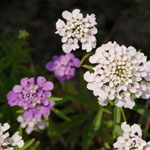 Seeds Iberis umbellata (Annual Candytuft)-Seeds Wildflowers Iberis umbellata (Annual Candytuft)