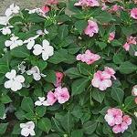 Seeds Impatiens balsamina (Balsam)-Seeds Impatiens balsamina (Balsam)